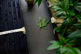 A leaf sits after falling off a plant in the medical marijuana clones department at Harborside Health Center in Oakland, Calif. on Thursday, June 5, 2014.
