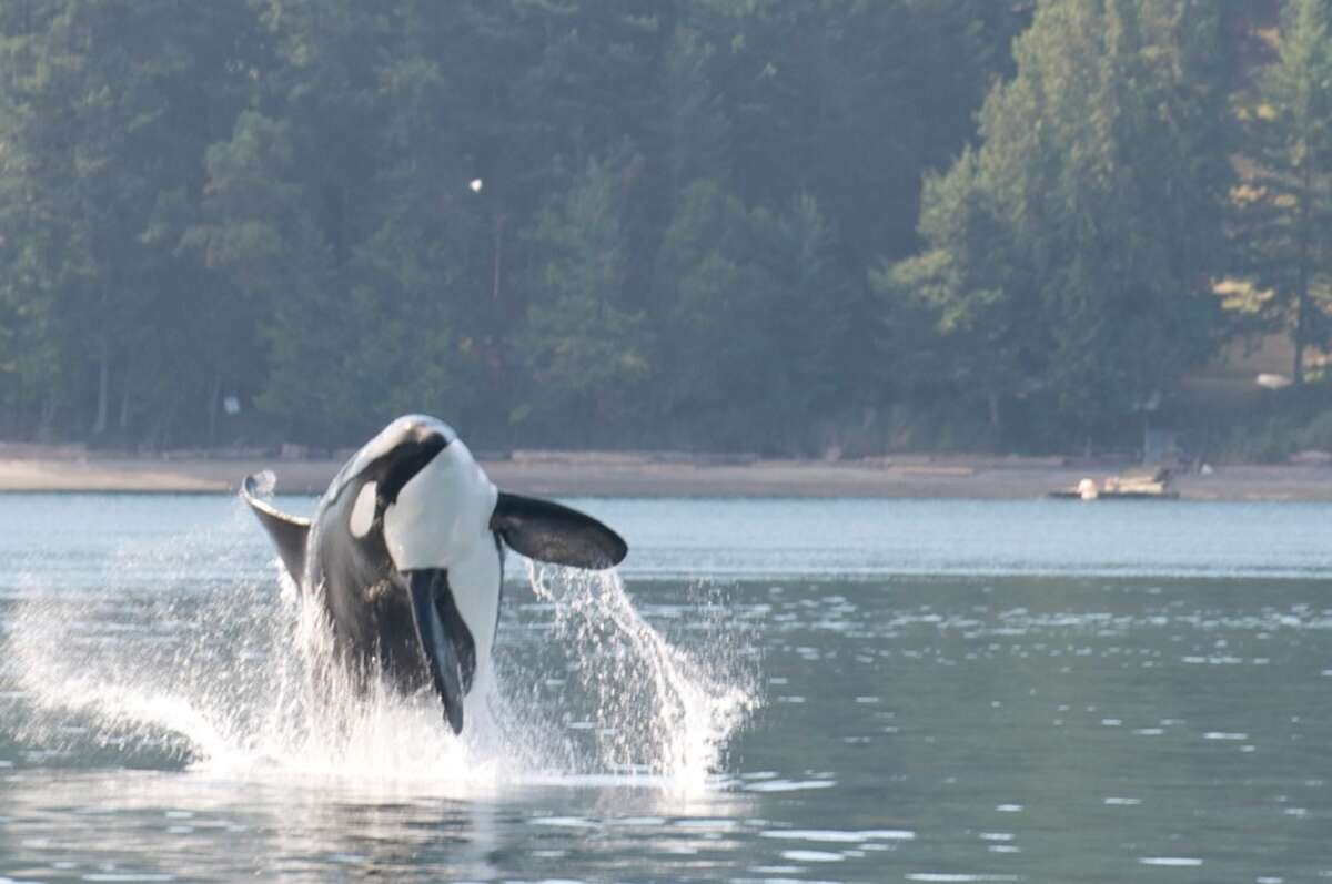 Transient Orcas feeding on north side of Stuart Island, San Juan Islands, Sept. 9, 1013