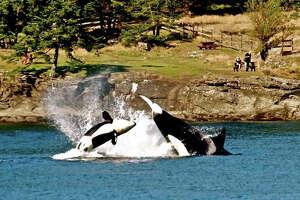 Transient Orcas near Salt Spring Island, BC
