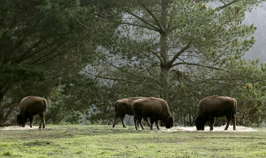 View American bison in Golden Gate Park. Photo: Michael Macor, The Chronicle