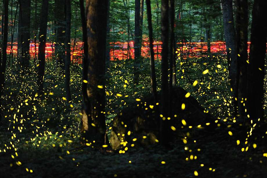 Lightning bugs' annual orgy:Humans carrying red flashlights hike the Little River Trail to observe   fireflies flickering in their annual mating ritual in Great Smoky Mountains National Park outside Gatlinburg, Tenn. Fireflies' peak flashing lasts about two weeks. Photo: Adam Lau, Associated Press