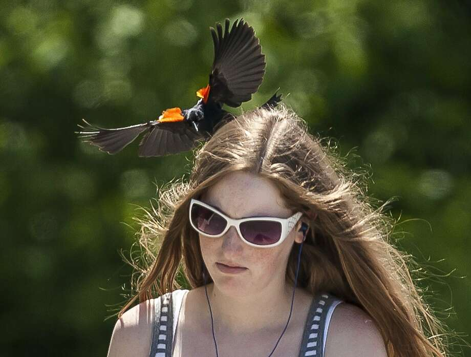 'Danger, songbird ahead':A territorial male red-wing blackbird dive-bombs Jessica Cline as she 