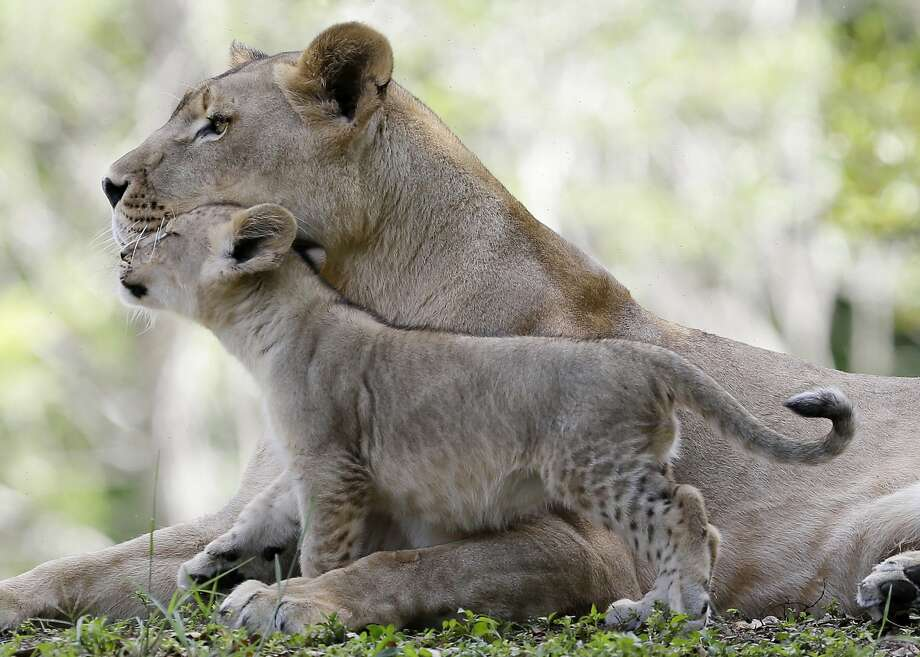 Hanging with Mom:One of Kashifa's five cubs nuzzles up to its mother at Zoo Miami. Kashifa gave 