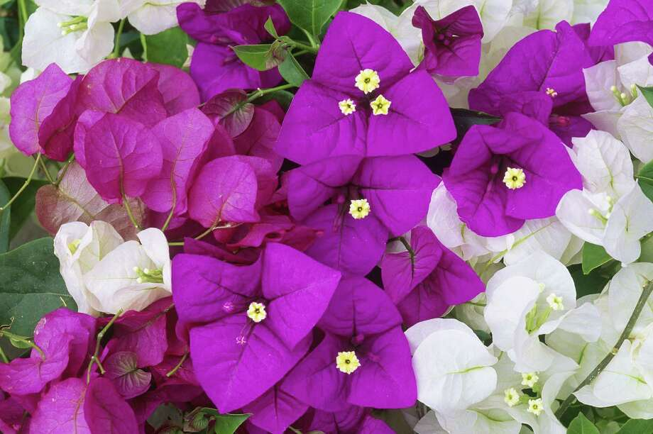 Bold bougainvillea can take the heat. It does best in full sun and prefers being root bound. Photo: Getty Images / Purestock