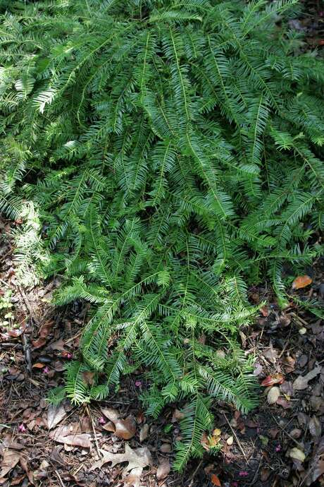 Plum yew Photo: John Everett / handout