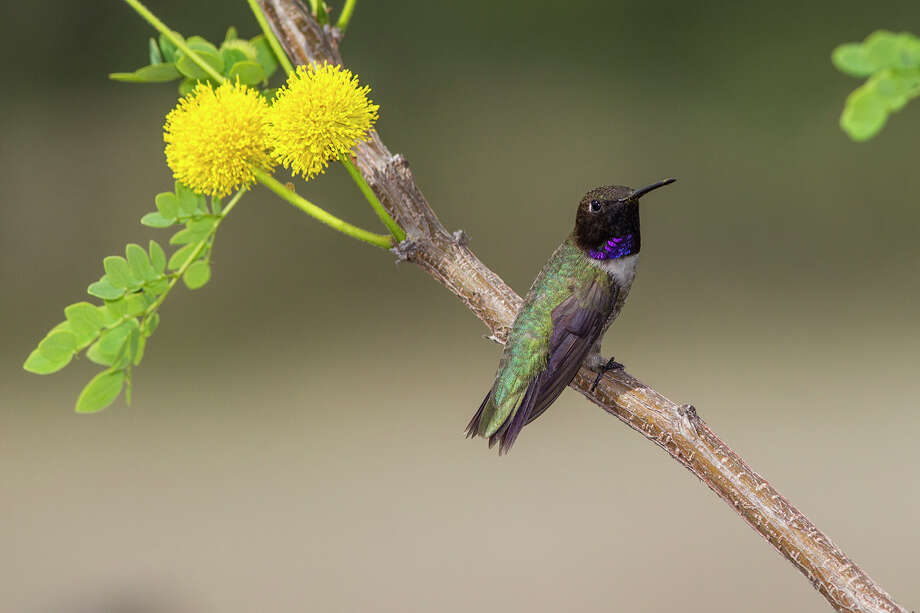 Black-chinned hummingbirds are the look-alike cousins of ruby-throated hummingbirds and are found in Texas from San Antonio westward. Photo: Kathy Adams Clark / Kathy Adams Clark/KAC Productions