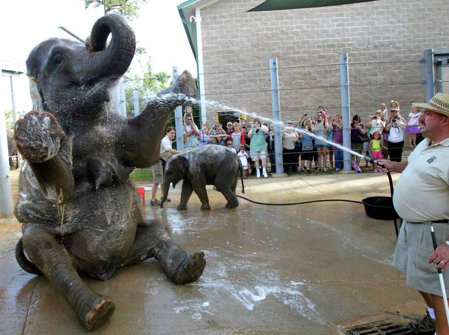Elephant Open House guests take pictures while curator of large animals Daryl Hoffman (right) sprays Tess with water as elephant manager Martina Stevens baths Tupelo at the Houston Zoo Saturday, June 18, 2011, in Houston. Tess is about to embark on a walking regime to help her loose weight ahead of the birth of her next calf, due 2015. Photo: Cody Duty, Houston Chronicle / © 2011 Houston Chronicle