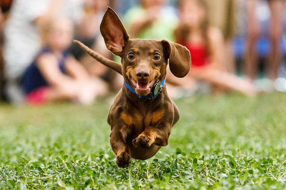 Two-year-old O'Malley flies across the grass in the dachshund races during the 2012 Boerne Berges Fest. Photo: Express-News File Photo / Prime Time Newspapers 2012