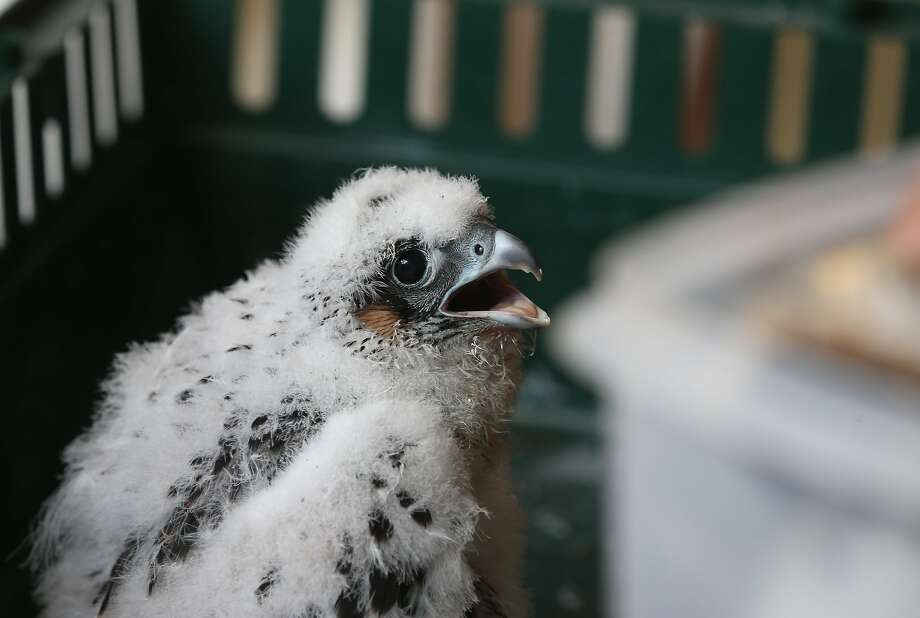 A baby peregrine falcon that was temporarily removed from its nest above the American Republic Insurance building in Des Moines, Iowa, is weighed and banded on Friday, June 6, 2014. There are two nests of falcons in Des Moines, and fewer than 20 statewide. (AP Photo/The Des Moines Register, Bryon Houlgrave) MAGS OUT, TV OUT, NO SALES, MANDATORY CREDIT Photo: Bryon Houlgrave, Associated Press