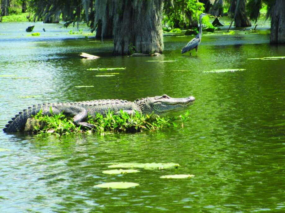 While smaller alligators slithered off their logs as our swamp tour boat neared, this big gator sat still while we shot photos from several angles in our guide's boat. Photo: Terry Scott Bertling, San Antonio Express-News