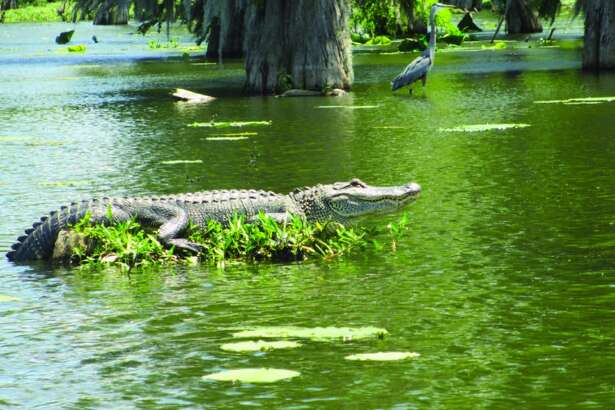 While smaller alligators slithered off their logs as our swamp tour boat neared, this big gator sat still while we shot photos from several angles in our guide's boat.
