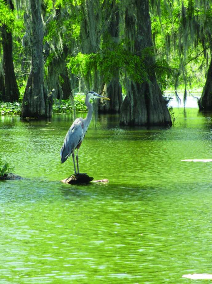 A great blue heron stands on a log in Lake Martin, practically posing for a closeup for the swamp tour boat passing by. Photo: Terry Scott Bertling, San Antonio Express-News