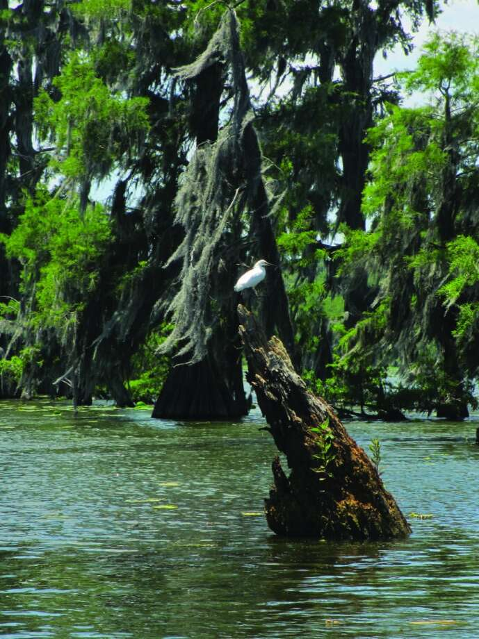 A snowy egret chooses a spot on a tree stump jutting out of the water in Lake Martin. Photo: Terry Scott Bertling, San Antonio Express-News