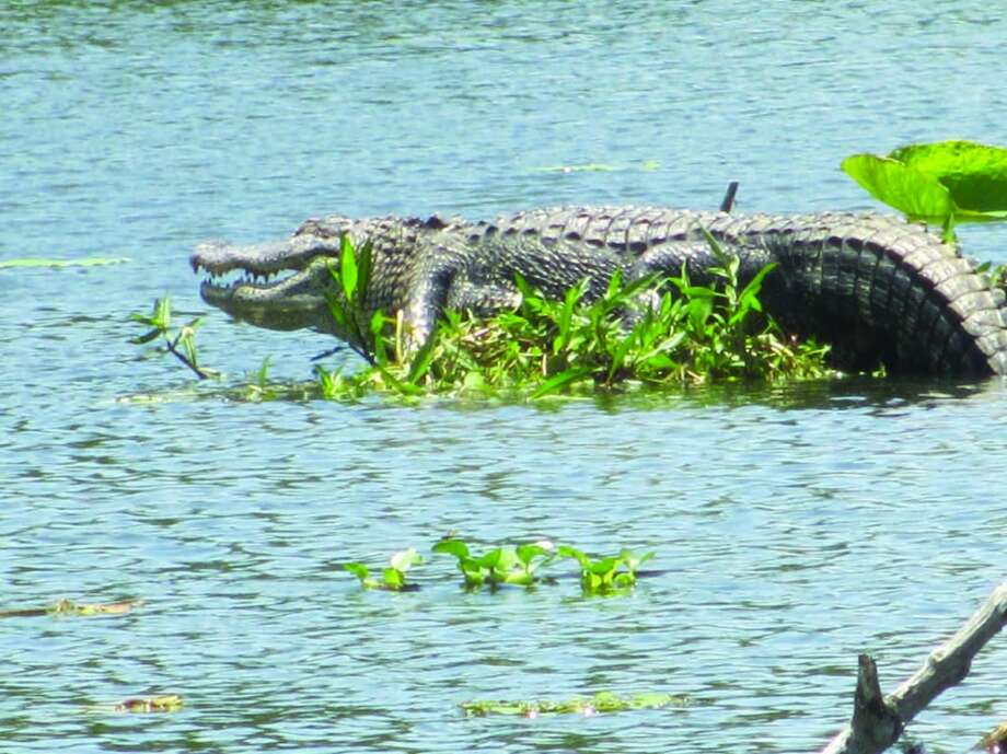 The biggest alligator we saw on our Lake Martin swamp tour was this big speciman, estimated to be around 10 feet long and 20 years old. Photo: Terry Scott Bertling, San Antonio Express-News