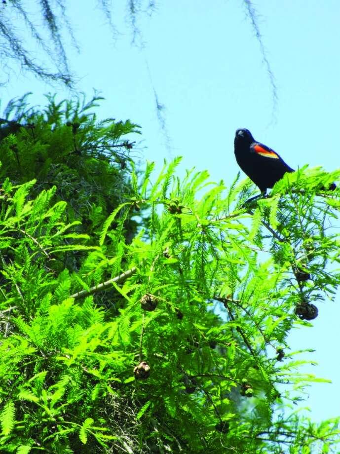 A redwing blackbird sits on a limb at Lake Martin. Photo: Terry Scott Bertling, San Antonio Express-News