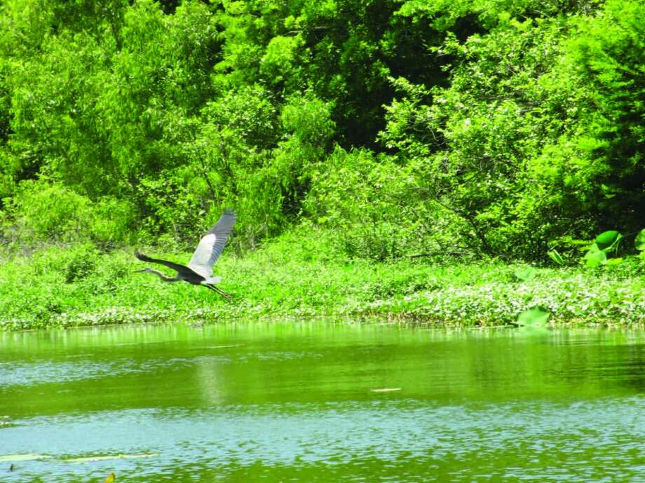 A great blue heron takes flight. Photo: Terry Scott Bertling, San Antonio Express-News