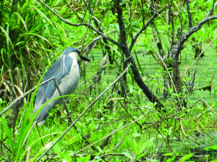 A black crown night heron sits in the brush on the edge of the water on Lake Martin. Photo: Terry Scott Bertling, San Antonio Express-News