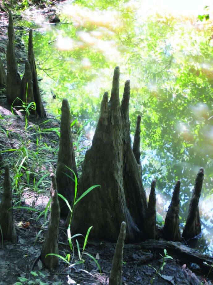 Cypress knees surround some of the trunks of  trees in the swamp along a boardwalk. Photo: Terry Scott Bertling, For The Express-News