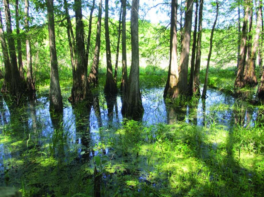 The boardwalk at Cypress Island Reserve on Rookery Road (on one end of Lake Martin) gave visitors a closeup view of the bald cypress trees draped with moss. No alligators were spotted there. Photo: Terry Scott Bertling, San Antonio Express-News
