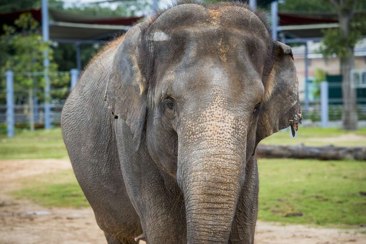 Houston zoo report Tess (pictured) miscarried twin calves overnight Monday. The elephant had been featured in the news recently as staff embarked on an exercise regime to help her keep her weight down during the pregnancy.