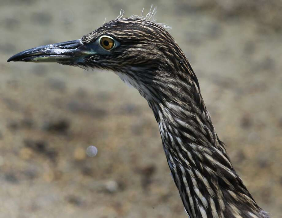 A black-crowned night heron roams in the marshland after its release at Martin Luther King Jr. Regional Shoreline Park. Photo: Paul Chinn, The Chronicle