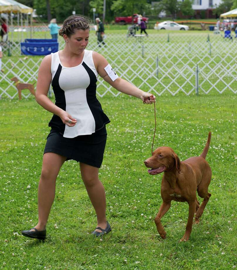 Vizslas are shown during the Greenwich Kennel Club's All-Breed Dog Show at Calf Pasture Beach in Norwalk, Conn., on Saturday, June 7, 2014. Photo: Lindsay Perry / Stamford Advocate