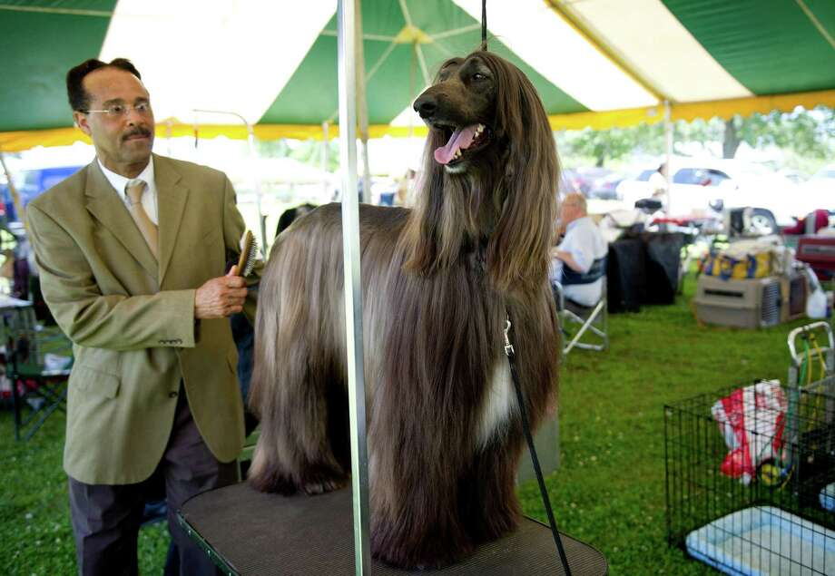 Ron Gattling grooms Jason, an Afghan hound, during the Greenwich Kennel Club's All-Breed Dog Show at Calf Pasture Beach in Norwalk, Conn., on Saturday, June 7, 2014. Photo: Lindsay Perry / Stamford Advocate