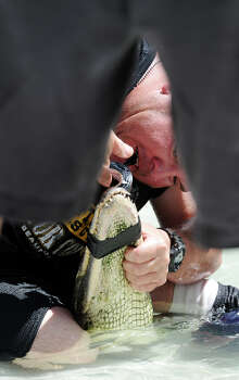 Phillip Jufiar tapes the jaws of an alligator shut during the first event of Saturday's Gator Rescue Tournament. The 2014 Gator Rescue Tournament was held at Gator Country on Saturday. Photo taken Saturday 6/7/14 Jake Daniels/@JakeD_in_SETX Photo: Jake Daniels / ©2014 The Beaumont Enterprise/Jake Daniels