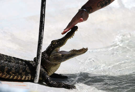 A competitor touches the nose of an alligator as he and his teammate participate in the first event of Saturday's tournament. The 2014 Gator Rescue Tournament was held at Gator Country on Saturday. Photo taken Saturday 6/7/14 Jake Daniels/@JakeD_in_SETX Photo: Jake Daniels / ©2014 The Beaumont Enterprise/Jake Daniels