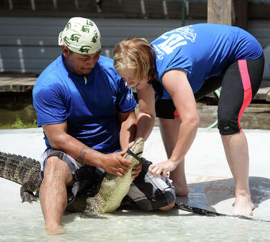 Sal Cavazos controls an alligator as his teammate April Duke wraps its jaws with electrical tape during the first event of Saturday's tournament at Gator Country. The 2014 Gator Rescue Tournament was held at Gator Country on Saturday. Photo taken Saturday 6/7/14 Jake Daniels/@JakeD_in_SETX Photo: Jake Daniels / ©2014 The Beaumont Enterprise/Jake Daniels