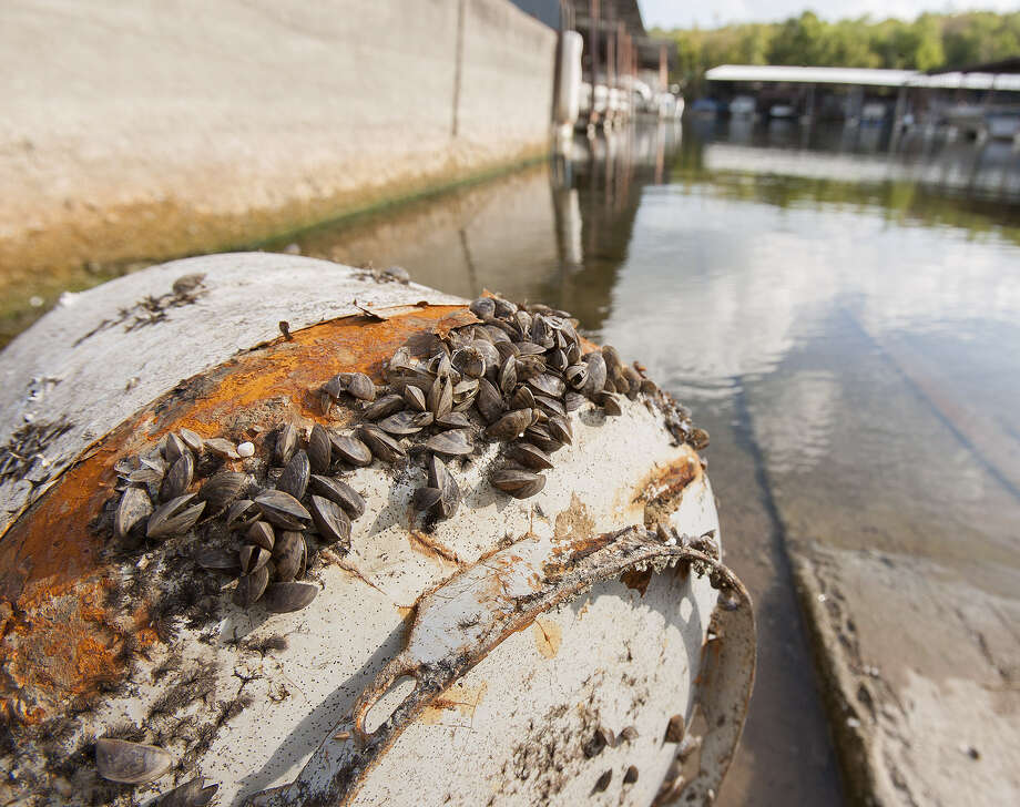 A regulation taking effect in July and aimed at combating the spread of invasive zebra mussels, like these coating a tank at a Lake Texoma boat ramp, will require Texas boaters to drain all water from their boats and containers before and after launching on freshwater anywhere in the state. Photo: Earl Nottingham / Texas Parks & Wildlife Department