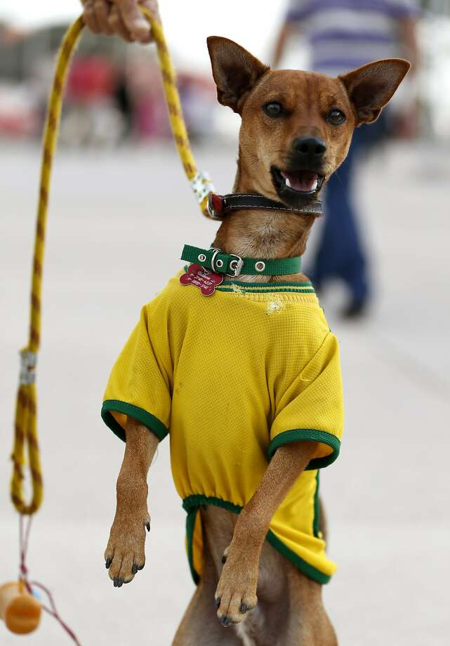 A dog wears a jersey in the colors of Brazil's soccer team outside Arena Corinthians in Sao Paulo, Brazil, Saturday, June 7, 2014. Brazil is hosting the World Cup soccer tournament starting June 12. Photo: Julio Cortez, Associated Press