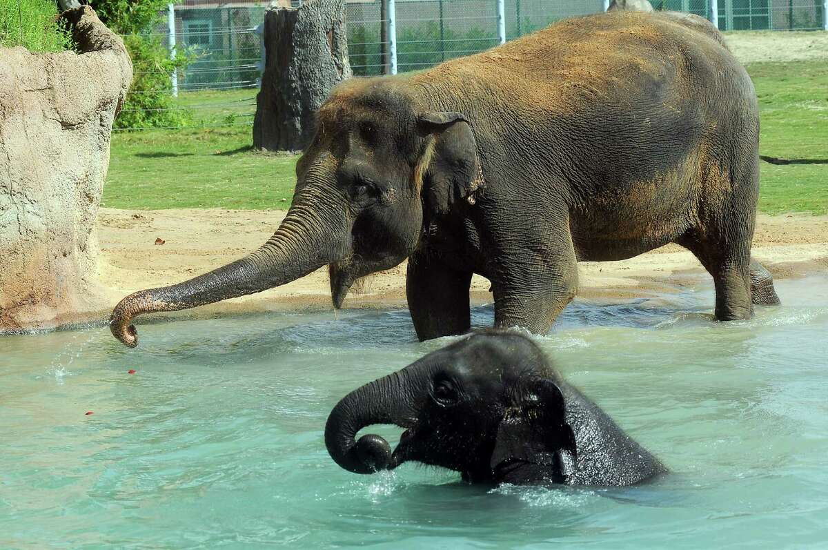 Tess already has two calves at the zoo, the youngest Tupelo, is 3 years old.