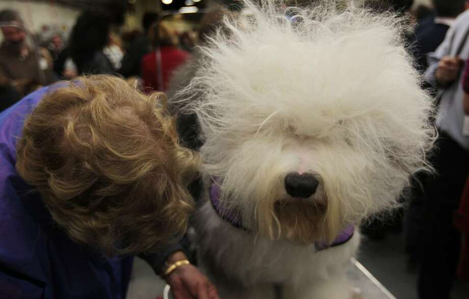NEW YORK - FEBRUARY 15:  A woman grooms her long-haired dog backstage at the Westminster Kennel Club Dog Show February 15, 2010 in New York, New York.  The 134th Westminster Kennel Club Dog Show is taking place February 15 and 16 in New York's Madison Square Garden, and dog breeders from around the country and world have flown in to take part.  (Photo by Chris Hondros/Getty Images) Photo: Chris Hondros, Getty Images / 2010 Getty Images
