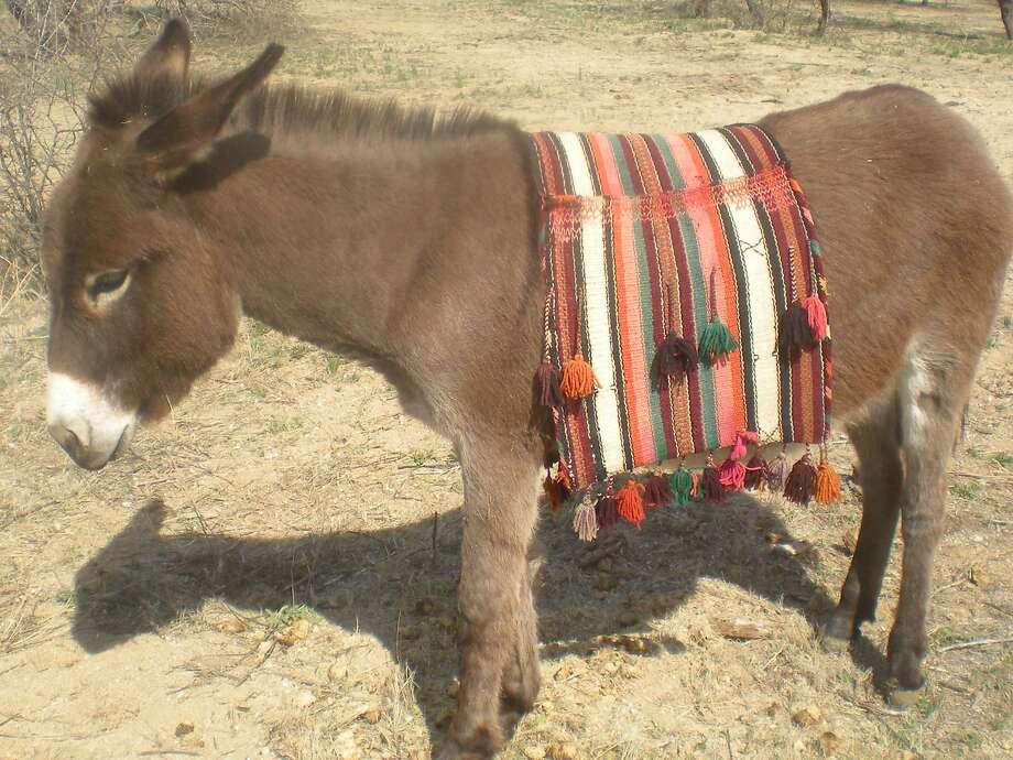 Peppino is one of the burros saved from slaughter and nurtured back to health by a couple in Catalina, Ariz., who formed a branch of a rescue sanctuary. Photo:  Jo Di Gennaro