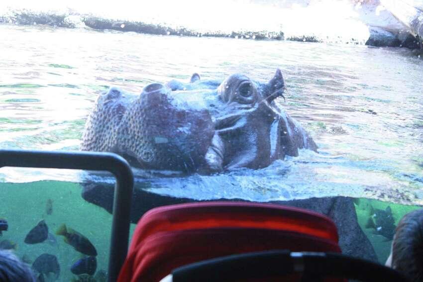 Hippo swimming.