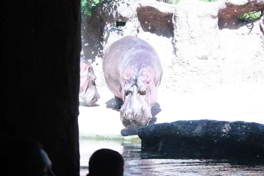 Hippos enter the water.