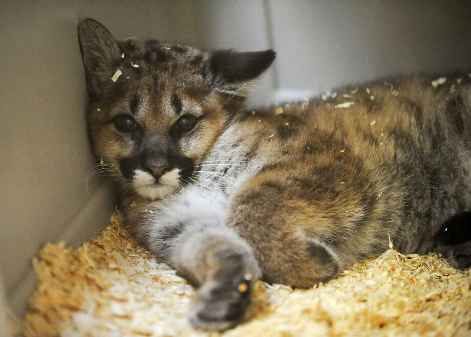 Who put this wall here? After running around in the cougar building at Lincoln Park Zoo in Manitowoc, Wis., an orphaned mountain lion cub hits the wall. Photo: Sue Pischke, Associated Press