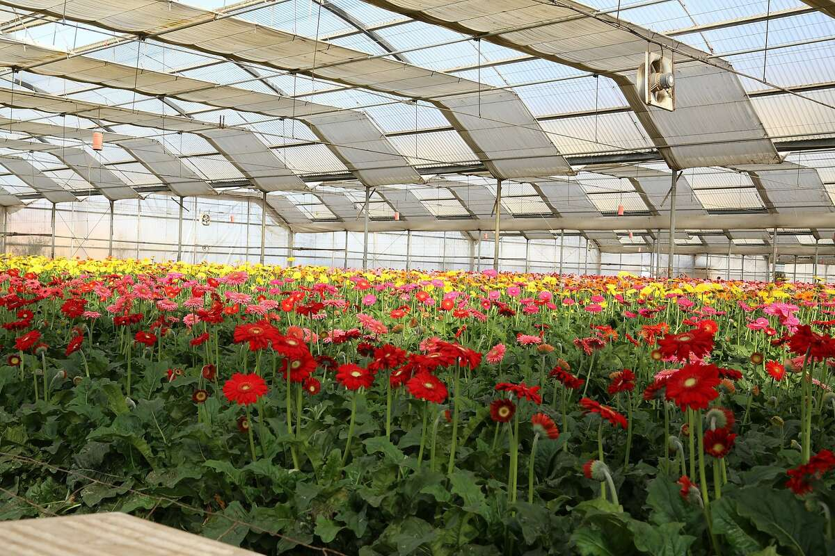 Kitayama Brothers manages more than 2.5 million square feet of greenhouses, growing lilies, gerberas, and gardenias.