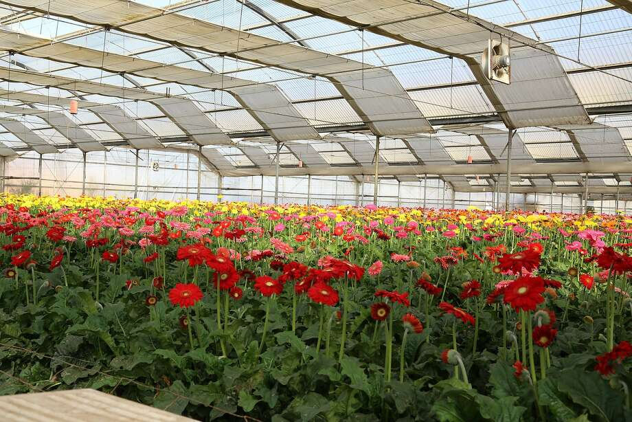One of the stops on this year's Greenhouse Growers Open House is Kitayama Brothers in Watsonville, which manages more than 2.5 million square feet of greenhouses, growing lilies, gerberas and gardenias. Photo: California Cut Flower Commission