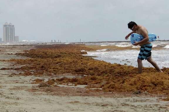 Homar Villatoro walks over a mound of seaweed on the beach near 19th street Thursday, May 22, 2014, in Galveston.