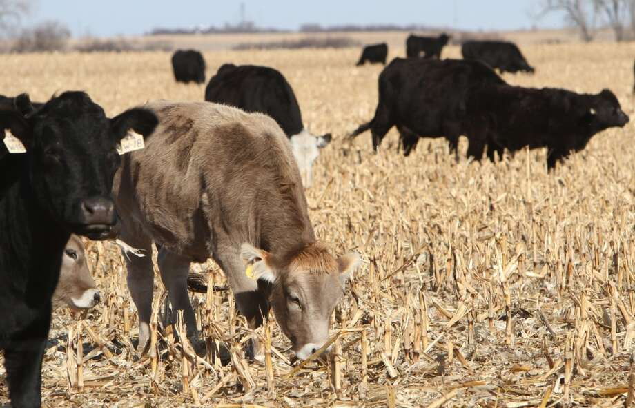 No. 10 NebraskaGDP growth (2013): 3%  Oil production rank (Feb. 2014): 20  Natural gas production rank (2012): 28   [Photo: Cattle graze on cornstalks on a field in Adams County near Hastings, Neb. Meat-packing is one of Nebraska's largest industries.] Photo: Amy Roh, Associated Press