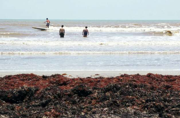 Tourists are grumbling and cleanup crews are scrambling as the seaweed problem continues to grow on Galveston beaches. Photo: James Nielsen, James Nielsen / Houston Chronicle / Houston Chronicle 2011