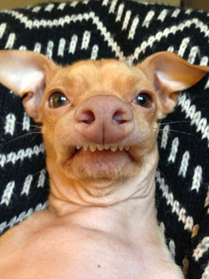 Now where did I leave my lower dentures?! Courtney Dasher of Los Angeles named her Chihuahua-dachshund mix Tuna, but with that overbite, he's more shark. Tuna has gained insta-fame on Instagram since Dasher rescued him in 2010. Photo: Courtney Dasher, Associated Press
