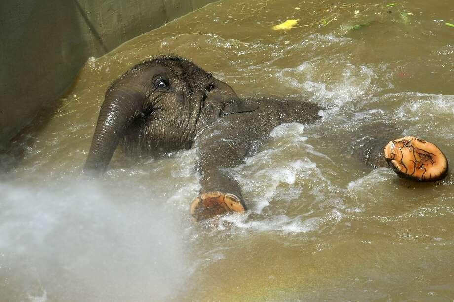 She's got a built-in shower attachment: It's time for 16-month-old Asha's bath at the Budapest Zoo. Photo: Attila Kovacs, Associated Press