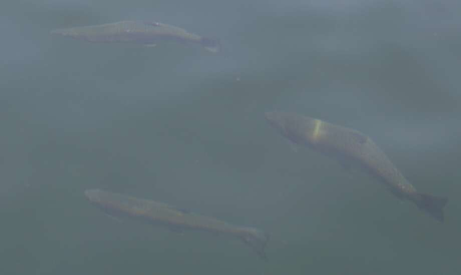 These giant trout swam right next to my boat -- they wouldn't bite! Photo: Tom Stienstra
