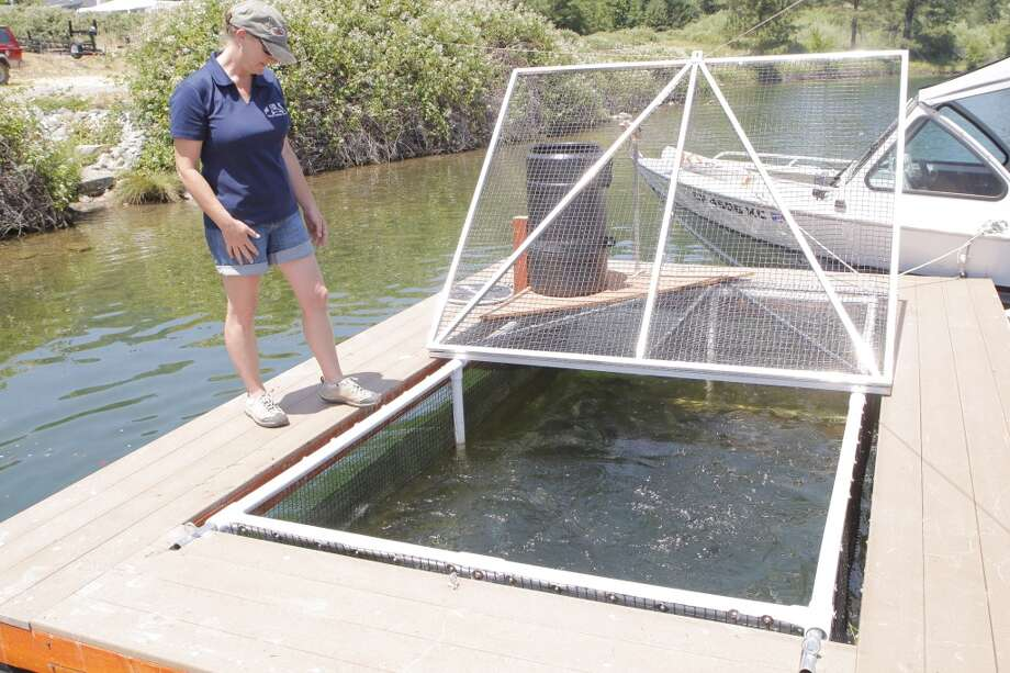 Louise Bigham at Pine Cove Marina feeds trout -- in July, she'll release trout to 10 pounds Photo: Tom Stienstra