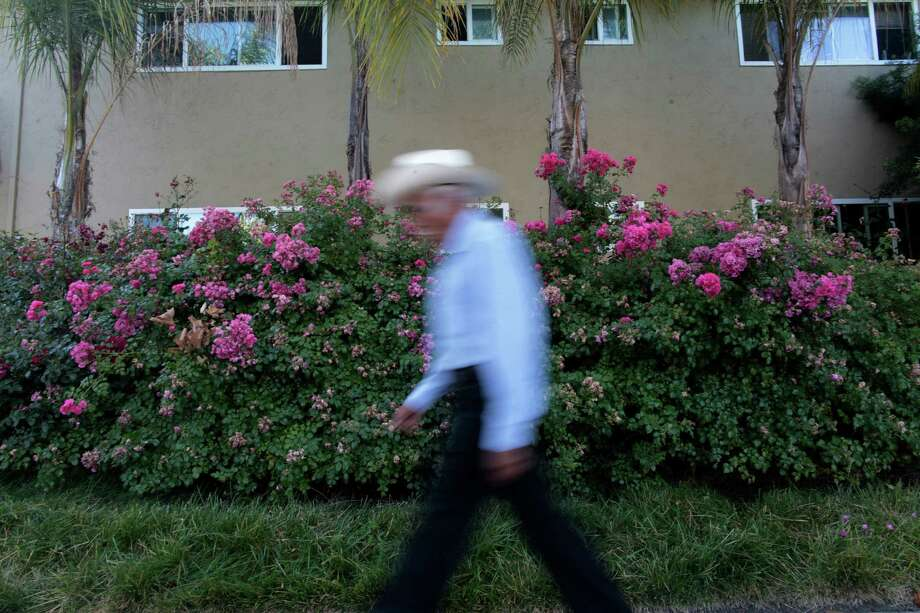 A man walks past an apartment complex in June at Rengstorff Avenue and California Street in Mountain View where a mountain lion was spotted in May. The cat hid under the bush for more than nine hours. Photo: James Tensuan / The Chronicle / ONLINE_YES
