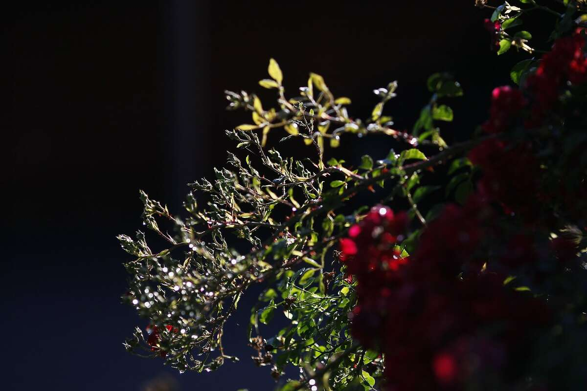 Flowers are seen on the corner of Rengstorff Ave. and California St. where a mountain lion was spotted in Mountain View, Calif. on Wednesday, June 11, 2014. Last month a mountain lion wandered from Big Basin Redwood State Park to Mountain View.