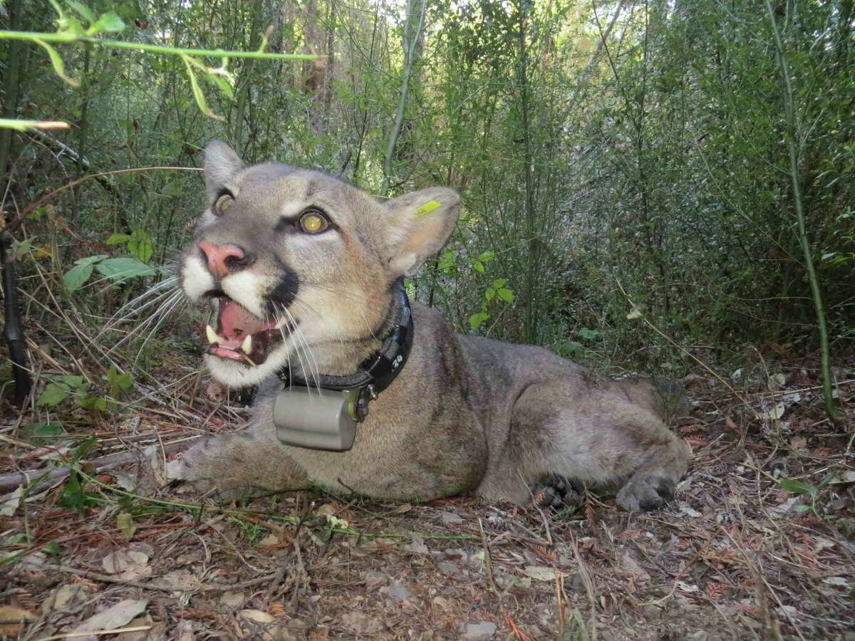 The mountain lion 46M wakes up after being collared in January. The cat was killed on Interstate 280 on Oct. 3.